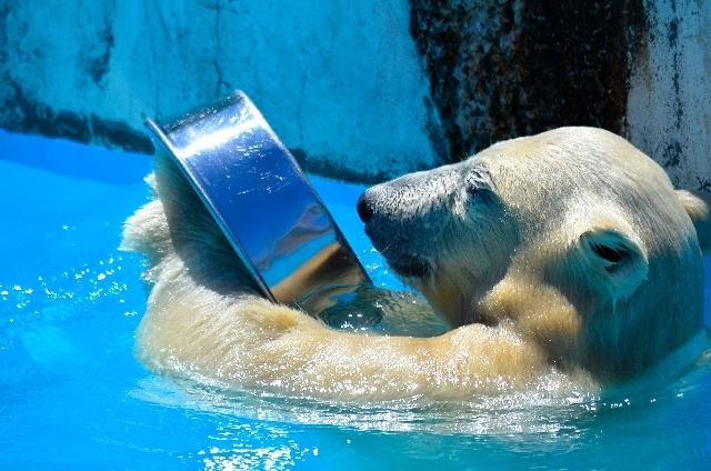 地球温暖化で暑がるシロクマ